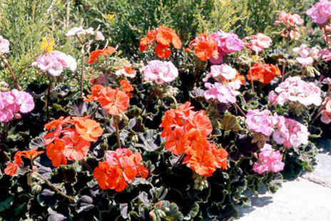 Dobies of Devon - 40 Geranium plug plants - Save 47%