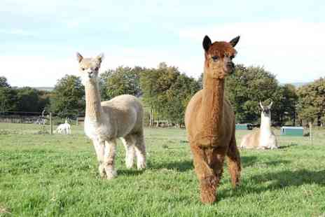 Mayfield alpacas -  Entry With Drinks For Three in Mayfield Alpacas - Save 52%