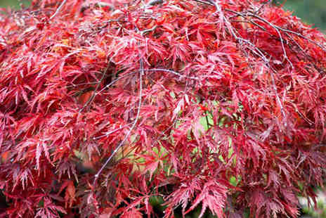 Dobies of Devon - Three  Japanese maple acer plants including 3 varieties and plant pots - Save 56%