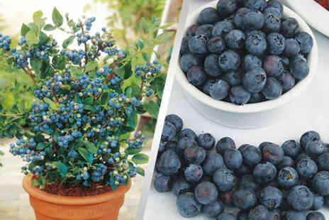 Dobies of Devon -  3 all season blueberry plants - Save 47%