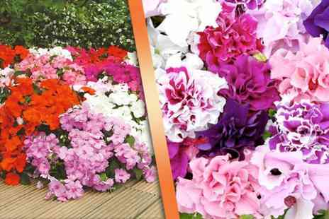 Dobies of Devon - 270 bedding plug plants - Save 64%