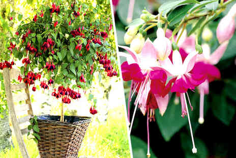 Dobies of Devon - 2 x fuchsia trees - Save 60%