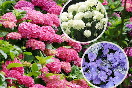 Brighten Up Your Garden - Five Piece or Ten Piece Set of Mixed Hydrangeas with Delivery Included - Save 50%