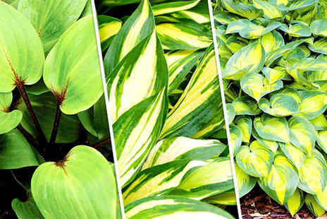 Dobies of Devon - Mix of three potted hostas garden plants - Save 60%
