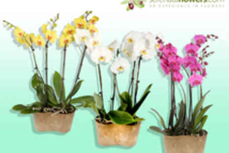 Serenata Flowers - Two Double Stemmed Orchids - Save 50%