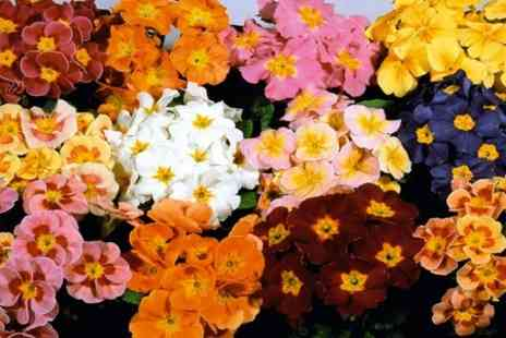 Suttons Seeds - 270 Autumn Bedding Plug Plants  - Save 73%