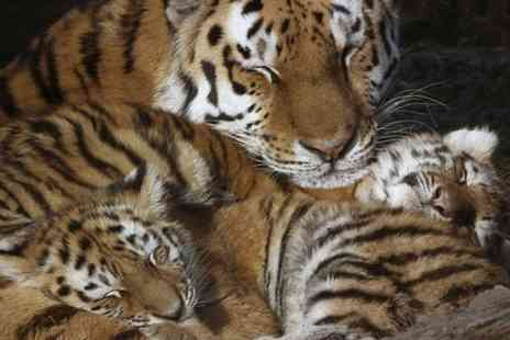 Wildlife Heritage Foundation - Big Cat Encounter and Tour With Afternoon Tea - Save 34%