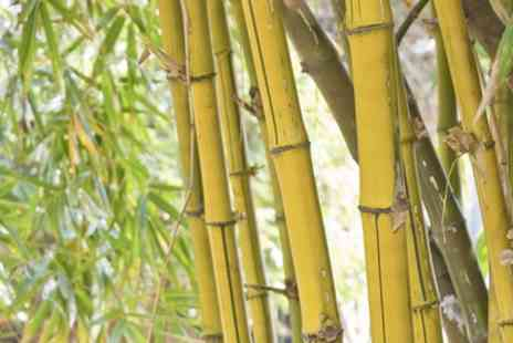Blooming Online  - Yellow Bamboo Plants Plus Pots and Fertiliser - Save 43%