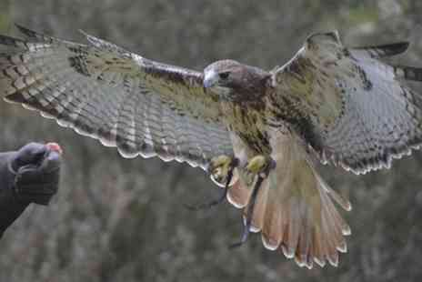 Falconry Experience Wales -  Red Kite Flying And Two Hours of Falconry - Save 75%