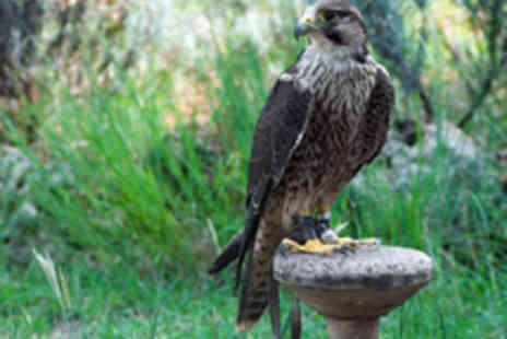 Arden Falconry - Hands On Falconry Experience and Entry - Save 64%