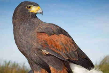 The English School of Falconry - Little & Large Bird of Prey Experience - Save 77%