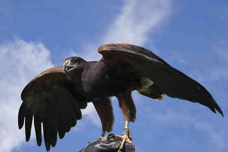 Hawkwalk - Two Hour Falconry Experience for One  - Save 53%