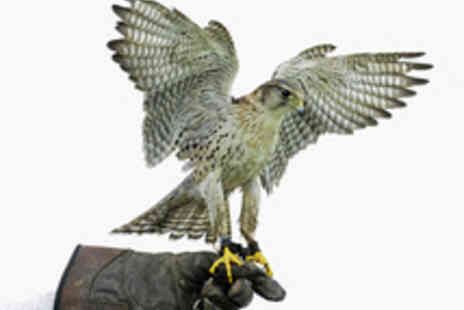 Hawks of Steele - Falconry or Owl Bird of Prey Experience - Save 66%