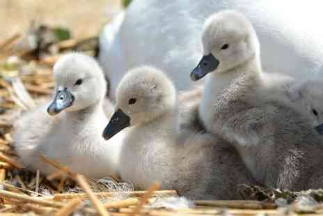 Abbotsbury Swannery - Ticket to Swan Hatching, Gardens and Farm For Two  - Save 38%