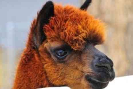 The Llama Park - Entry to The Llama Park with Llama Walk Options - Save 58%