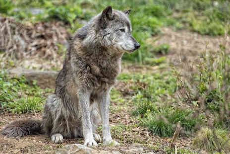 Anglian Wolf Society - Three hour wolf encounter experience for one   - Save 51%