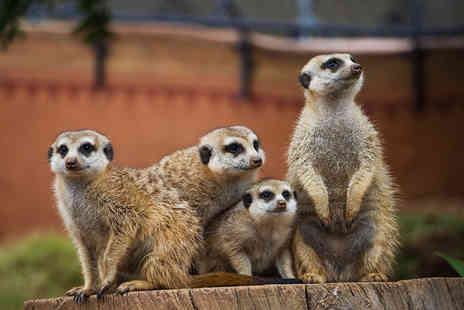 Will's Wild Animal - One hour meerkat experience for 2  - Save 61%