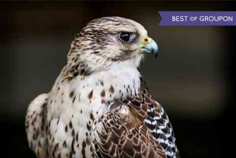 Falconry Experiences - Three Hour Falconry Experience - Save 62%