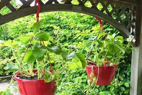 Coblands Nurseries - Two Pre planted Trailing Strawberry Hanging Baskets With Free Delivery - Save 0%
