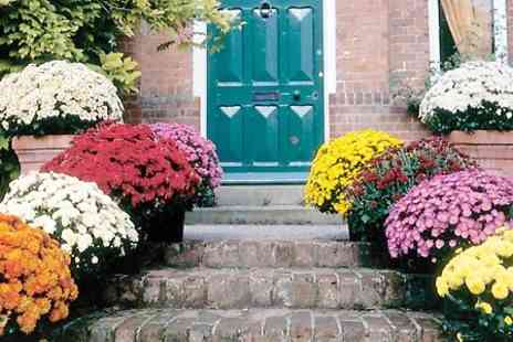 Hayloft Plants - 10 Plants Chrysanthemum Plants Collection With Free Delivery - Save 0%