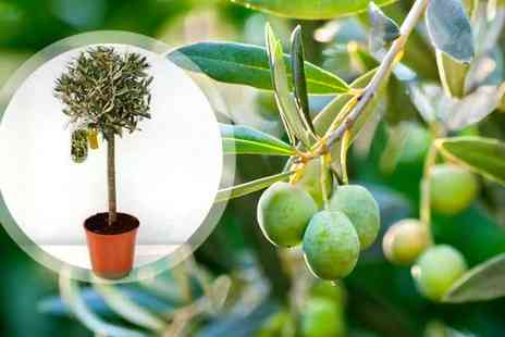 bristol tropical centre - 2 x Mediterranean Olive Trees - Save 55%