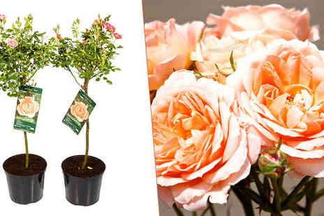 Garden Centre Online - Two Rose Trees in 7.5 Litre Pots - Save 67%