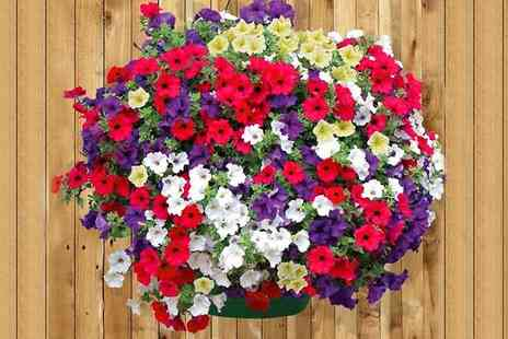 Garden wants - Two Petunia Colour Bloom Hanging Baskets - Save 50%