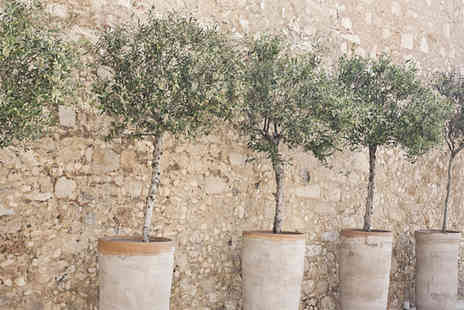 Merchtopia - Two Mediterranean olive trees - Save 0%