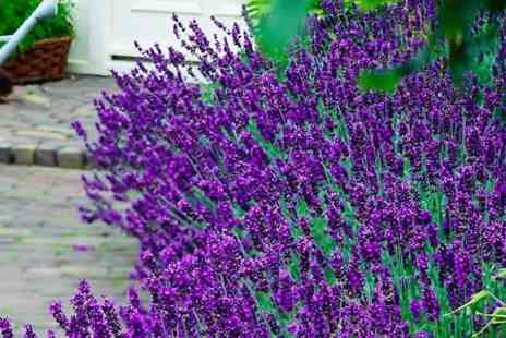 Hayloft Plants - Three Lavender Hidcote 9cm Pots  With Free Delivery - Save 0%