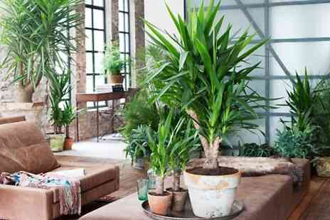 Perfect Plant Deals - Mini Palm Tree Collection With Free Delivery - Save 51%