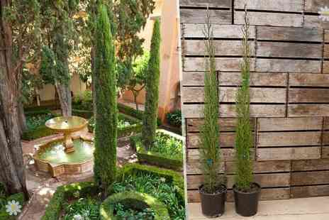 Blooming Direct - Two Italian Cypress trees - Save 40%
