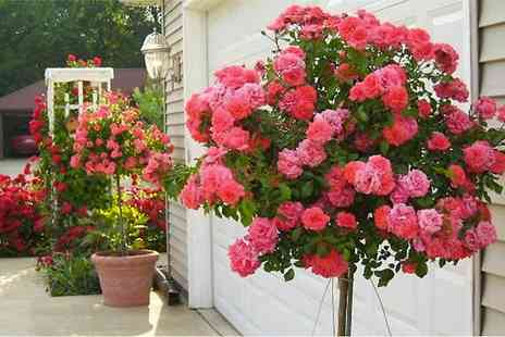 Garden Express - Two Rose Trees in Choice of Colour  With Free Delivery - Save 60%