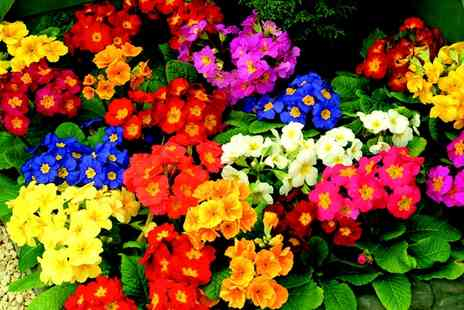 Suttons Seeds - 270 Autumn Bedding Plants With Free Delivery - Save 73%