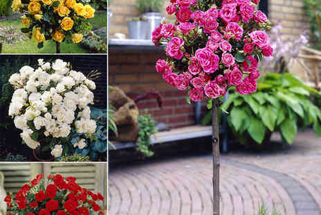 YouGarden  - Patio Rose Half Standard Collection - Save 50%