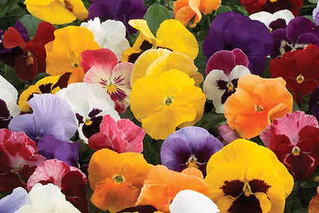 Garden wants - 70 Pansy Colourburst Winter Flowering Plants - Save 32%