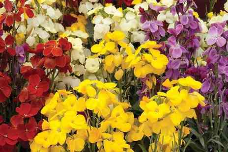 Garden wants - 170 Winter Flowering Plug Plants - Save 41%