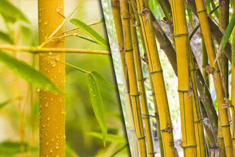 Blooming Direct - Pair of yellow bamboo plants - - Save 33%