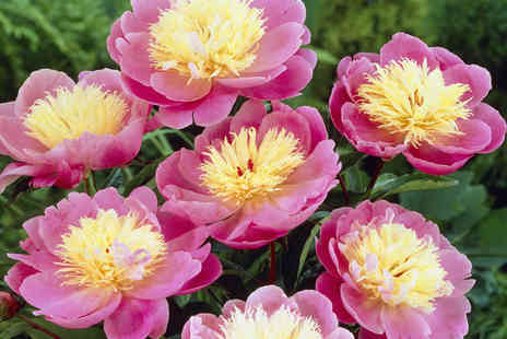 You Garden - Six Hardy Paeony Plants Including Delivery - Save 41%