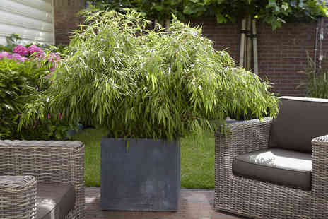 You Garden - A Pair of Fargesia Fountain Bamboos Including Delivery - Save 35%
