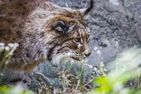 Iberian Lynx Experience - Spend Four Nights in Spain tracking the Iberian Lynx flights included - Save 0%