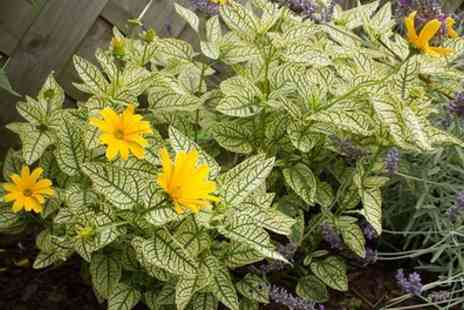 Hayloft Plants - Heliopsis Winter Sun With Free Delivery - Save 0%