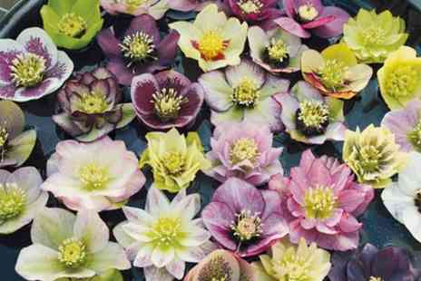 Hayloft Plants - Heavenly Hellebore Hybrids With Free Delivery - Save 0%