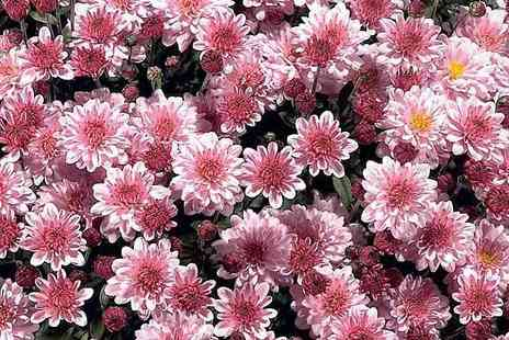 Garden wants - 2x Hardy Mum Pre Planted Containers - Save 46%