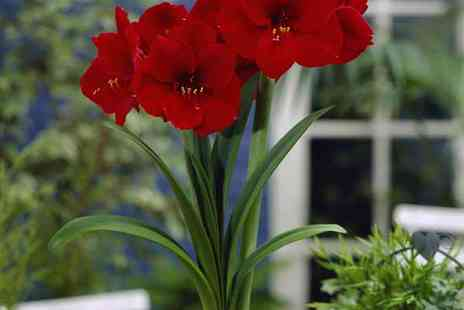 YouGarden - Red Amaryllis Bulb with Ceramic Planter - Save 0%