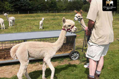 Charnwood Forest Alpacas - Walk with the Alpacas Experience for One or Adopt an Alpaca for 12 Months - Save 49%