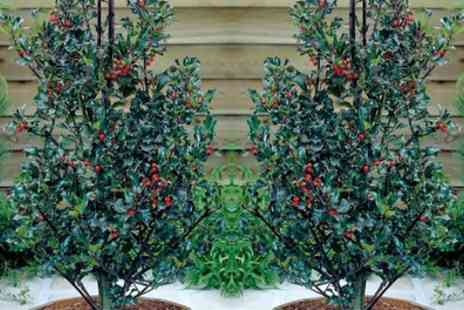 Hayloft Plants  - Holly Blue Angel With Free Delivery - Save 0%