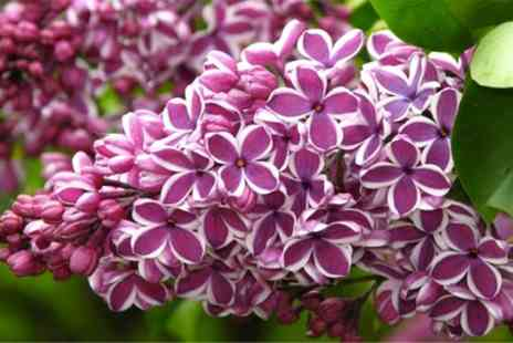 Garden Express - Three Fragrant Purple Lilac Trees With Free Delivery - Save 60%