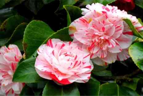 Camellia Collection - Hardy Evergreen Camellia Japonica Collection With Free Delivery  - Save 43%