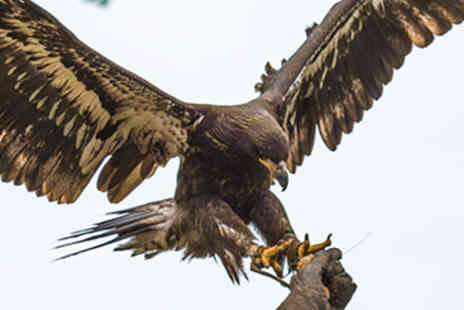 Bird of Prey -  Ultimate Half Day Eagle Experience   - Save 50%