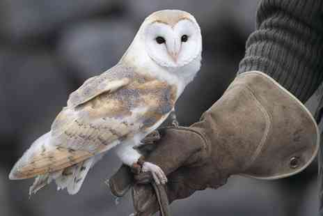 Hawks of Steele - One hour owl experience or two hour falconry experience  - Save 66%